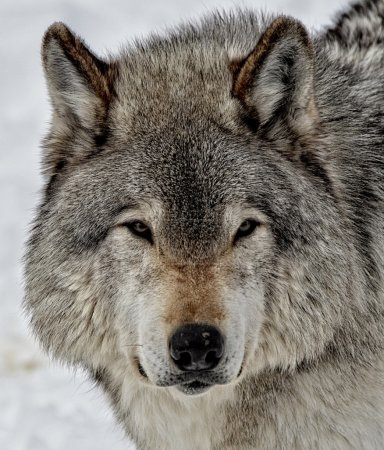 Face of Timber Wolf