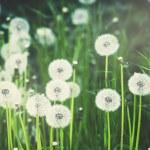Постер, плакат: White fluffy dandelions natural green background