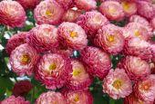 Chrysanthemum flowers background — Stock Photo