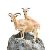 Serow (Mountain Goat , Capricornis sumatraensis) stand on rock at Chiangrai ,Thailand  (Isolated) — Stock Photo