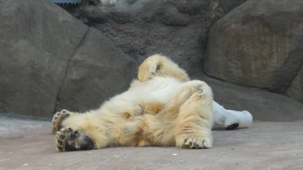 Polar bear scratching his belly