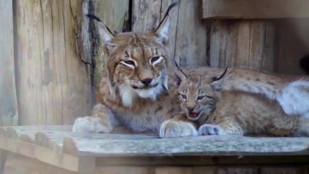 Lynx a kölyök