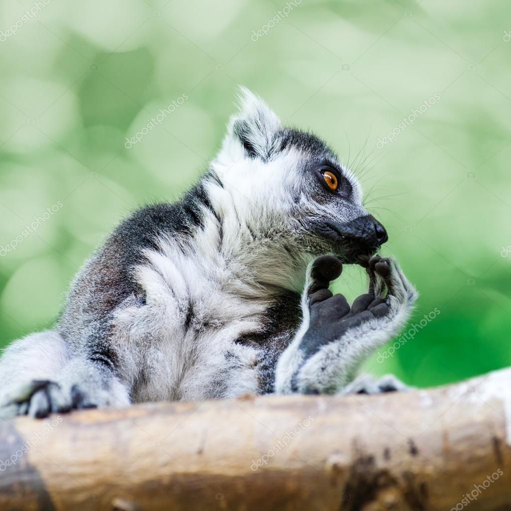 Lemur on wood