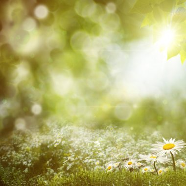 Summer noon background with daisy flowers