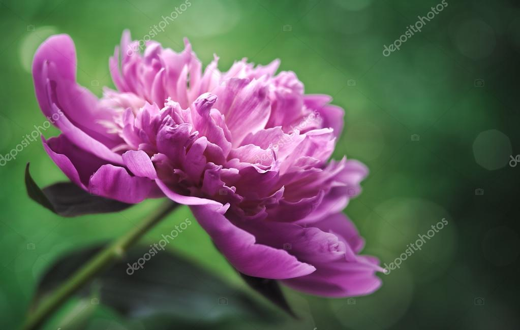 Peony flower over green