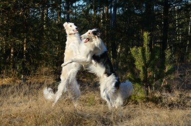 Fighting russian wolfhound dogs
