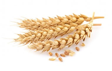 Wheat spikes in closeup