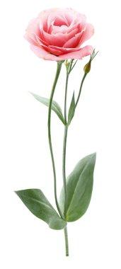 One eustoma flower stock vector