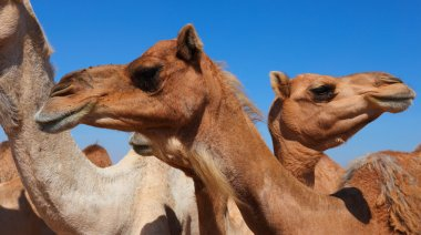 Camels in the desert close up