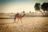 Fotografie Velbloudí zvíře v poušti