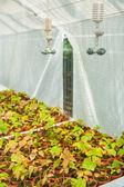 Sazenice ve skleníku