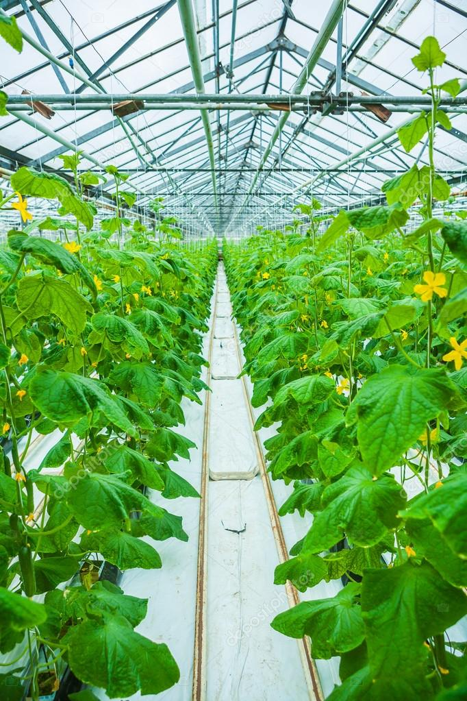 view on rows of cucumber plants in greenhouse