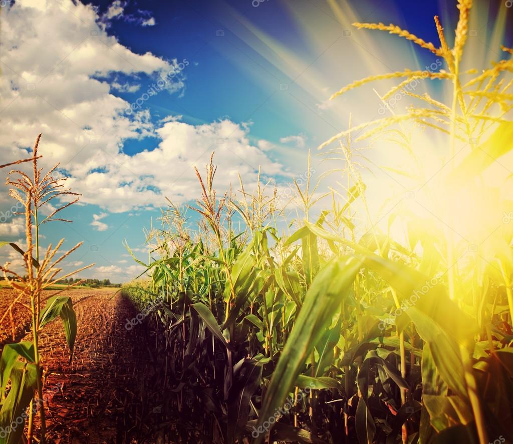 Beautiful sunrise on corn field after harvest instagram stile