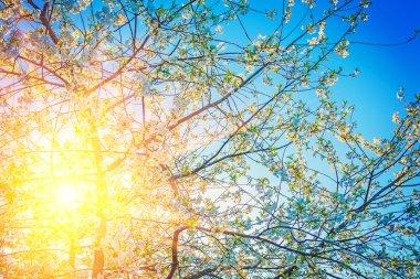 Sun translucent through crone