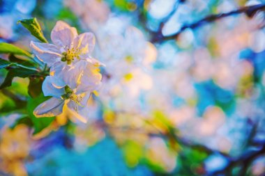 Flowers of blossoming apple tree