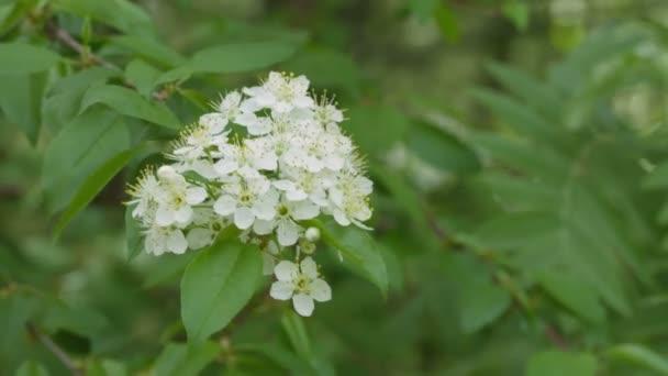 Virágzás cseresznye fa a kertben
