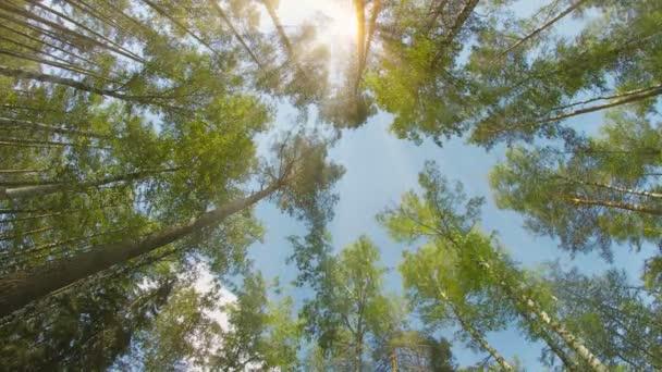 Smíšený les. Borovice a břízy. Vrcholky stromů za slunečného dne