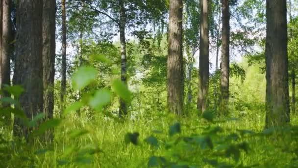 Smíšený les. Borovice a břízy. Panoramatický záběr