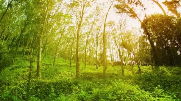 Plantáže kaučukovníků (Hevea) za slunečného letního dne. Thajsko. Phuket