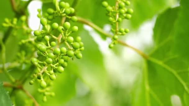 Unripe grapes on the vine