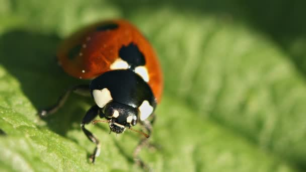Video FullHD - Ladybird (disambiguation) on green leaf close up