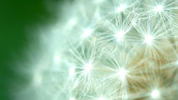 video fullhd - Pampeliška semena zblízka
