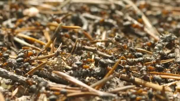 Video FullHD - Red hairy wood ants (Formica lugubris) on the surface of the anthill