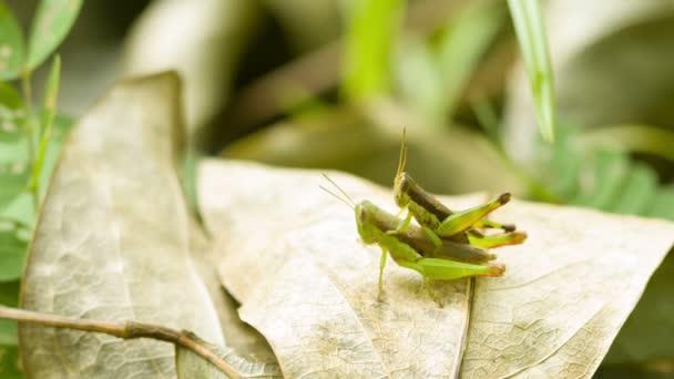 videa 1080p - dvě kobylky souložit na tropický deštný prales