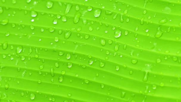 pozadí videa 1080p - povrch zelené banánový list s kapkami vody - příroda