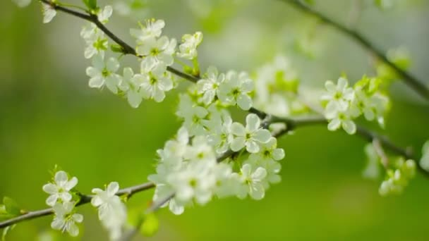 1080p video - Cherry blossoms. White flowers close-up