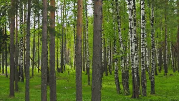 1080p video - vegyes erdő. fenyők és birchs