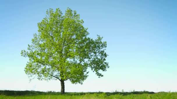 1080p video - magányos nagy fa háttérégbolt mező