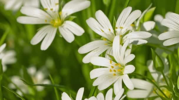Video 1080p - Cerastium květy (myš – ucho chickweed) na louce zblízka a Lupa