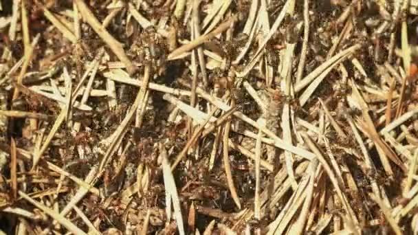 Video 1080p - Formica lugubris (chlupatý Tito mravenci) na povrchu hnízda
