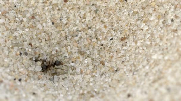 Video: Ameisenlarve fängt Ameise ein