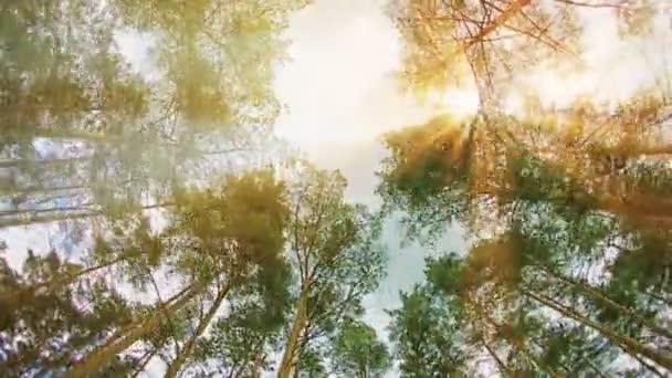 Video 1080p - korun stromů proti obloze. Běh přes borový les za slunečného dne