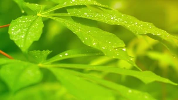 Morning Dew on Leaves