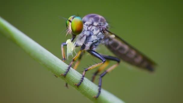 asilidae (Räuberfliege) sitzt auf einem Gras mit Beute. Thailand