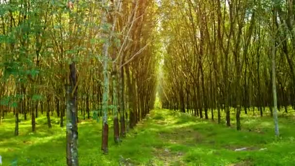 Rubber Trees in Neat Rows on a Plantation in Thailand