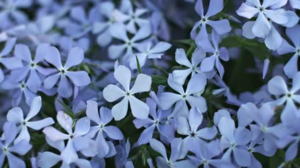 Modré květy Phlox na posteli close-up květina