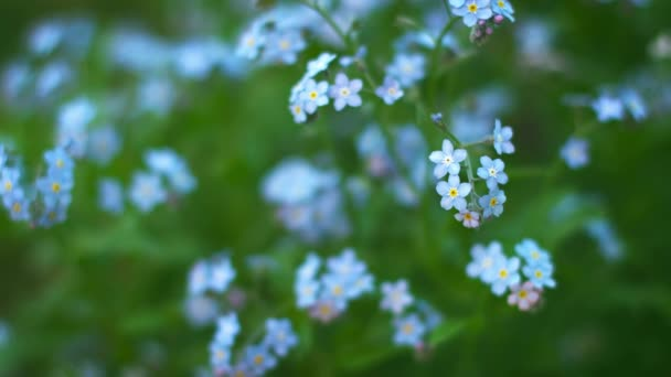 Blue forget-me flowers close up. Shallow depth of field
