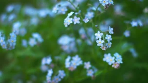 Zapomeňte na modré-mi květiny zblízka. Mělká hloubka ostrosti