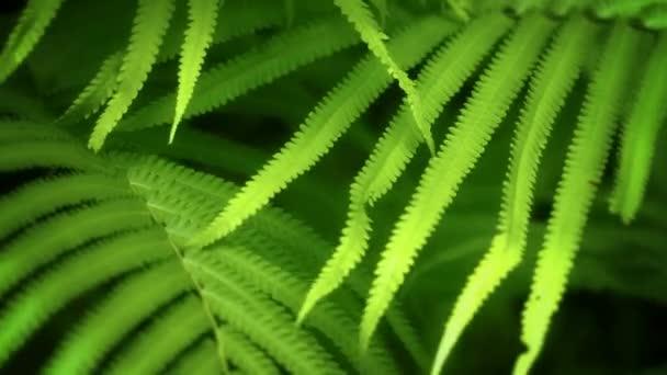 Kapradina listy, kýval v tropickém lese