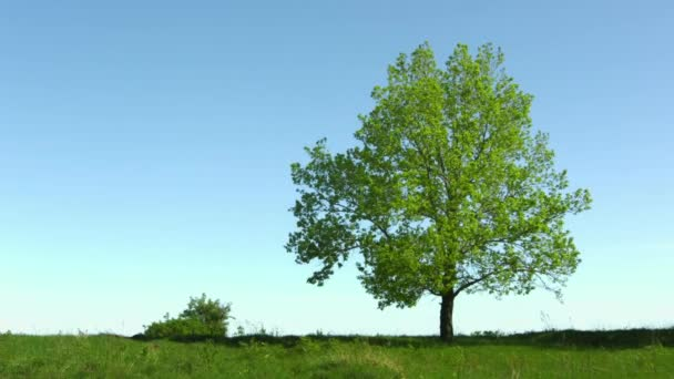 Magányos öreg Tölgy fa a háttérben ég rét