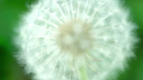 Nadýchané Pampeliška semena makro s rozostření