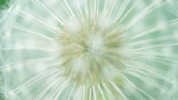 Nadýchané Pampeliška semena zblízka