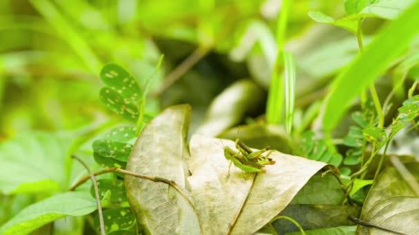 Dvojice kobylky v tropických lesích