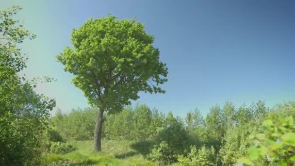 Oak tree in windy weather