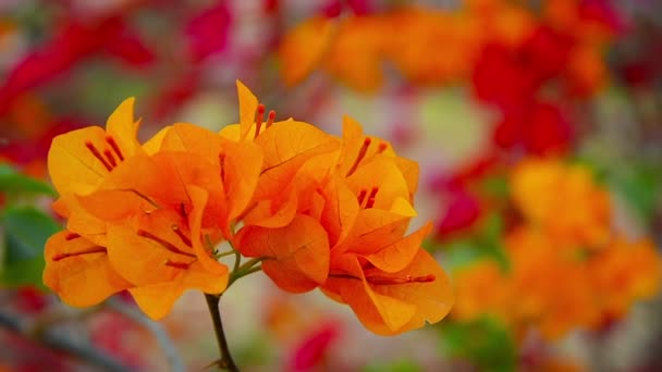 Cluster of Orange Bougainvillea Flowers at Ayutthaya Historical Park in Thailand