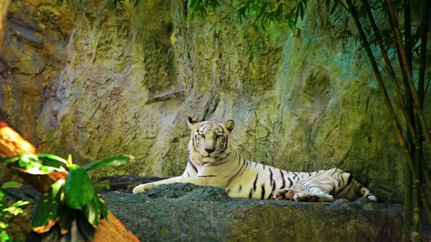 Video 1080p-fehér bengáli Tiger a fogságban az állatkert